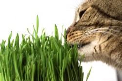 Garden Mix - Garden Mix Sindirim ve Tüy Yumağı Destekleyen Kedi Çimi (1)