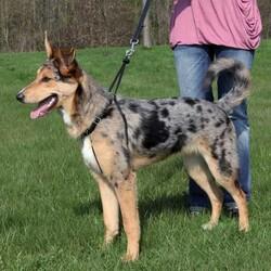 Trixie - Trixie Köpek Yürüme Eğitim Tasması XLarge 55 - 80 cm ( 25 mm )